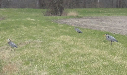 Three great blue herons